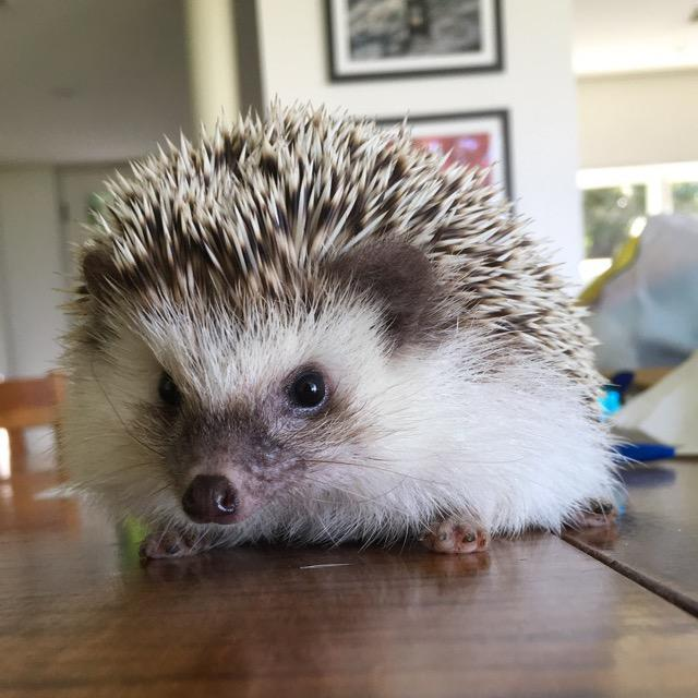 dean.the.hedgie
